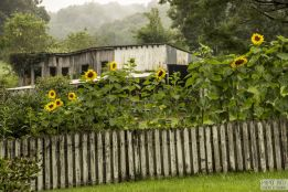 sunflowers over fence